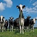 Koeien drogist