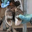 Klauwverzorging bij koeien voor een gezonde klauw