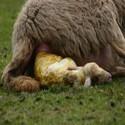 Dracht & aflammeren | schapen drogist