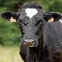 Vliegenbestrijding op koeien en kalveren
